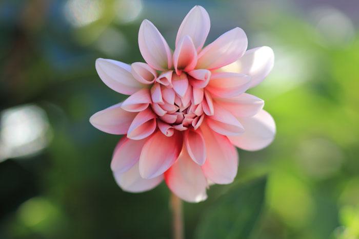 大きいサイズのピンク色のダリア