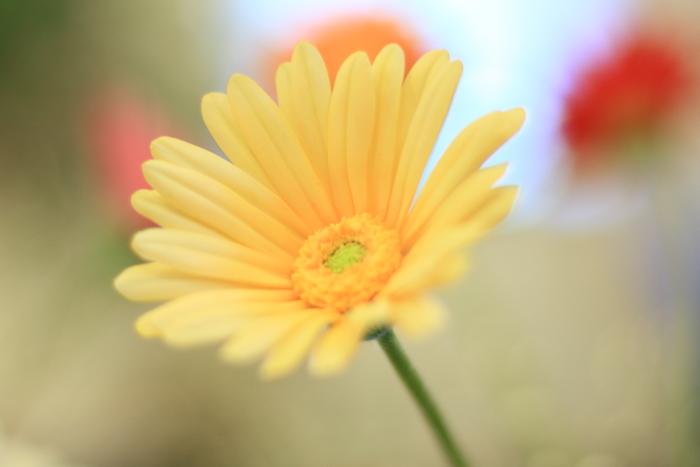 大きいサイズの黄色のガーベラ