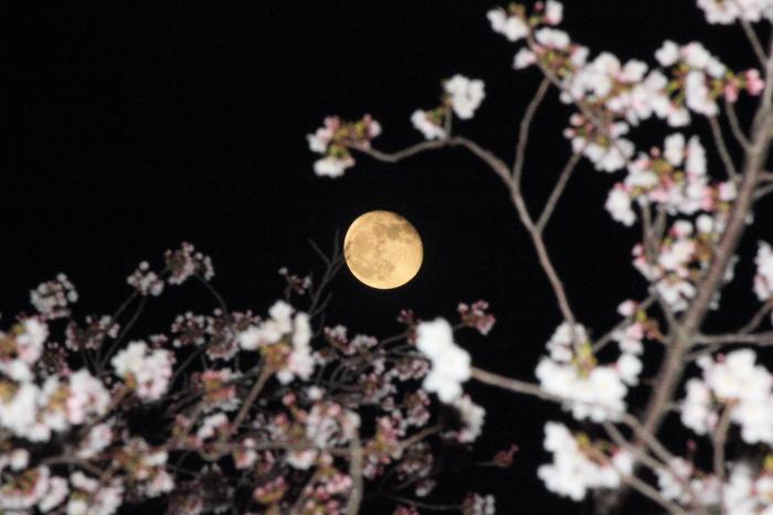 大きいサイズの夜桜と月