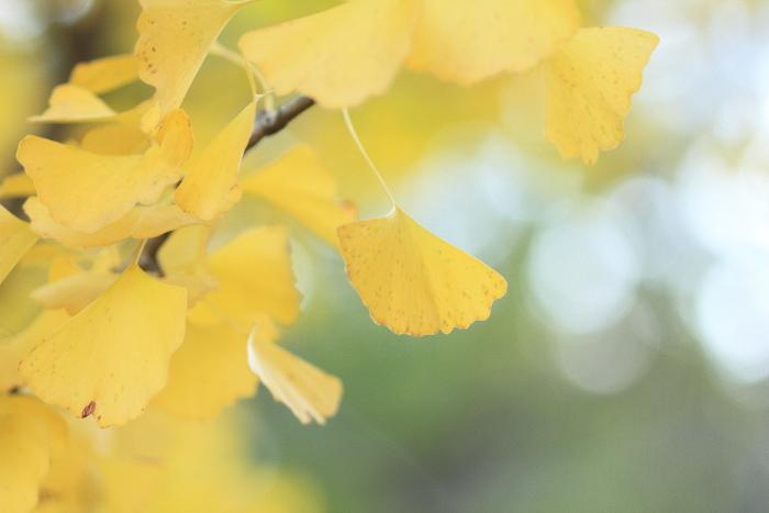 大きいサイズの銀杏の葉