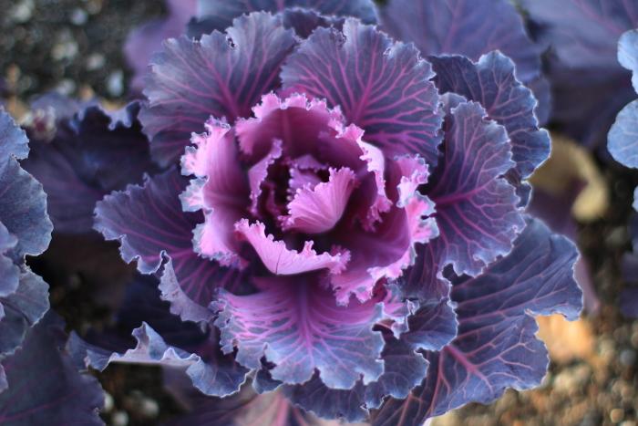 大きいサイズの青紫色の葉牡丹