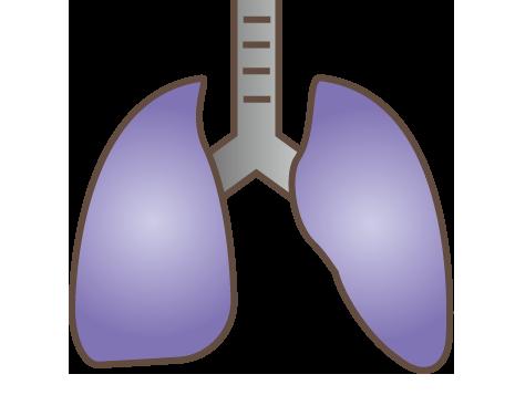大きいサイズの肺のイラスト