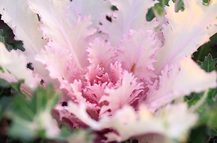 大きいサイズのピンク色の葉牡丹