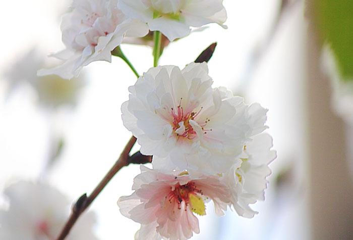 大きいサイズの大阪冬桜