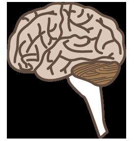 大きいサイズの脳を横から見たイラスト