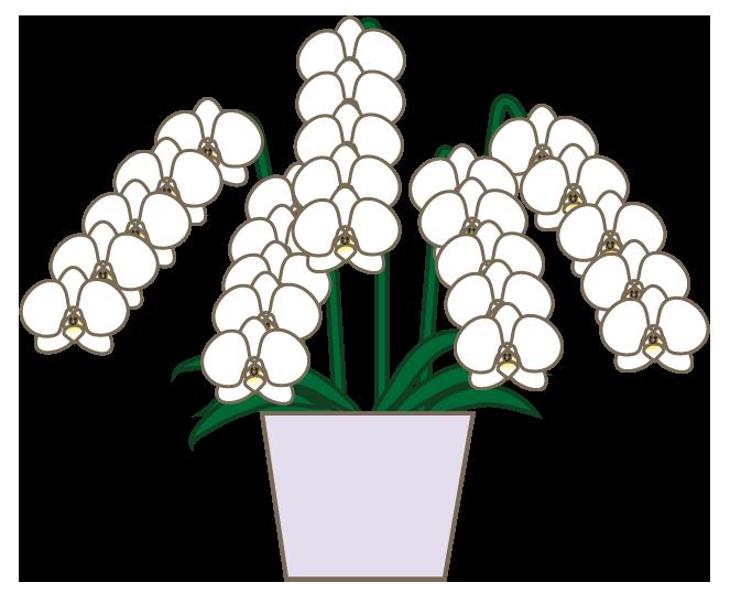 フリー素材胡蝶蘭
