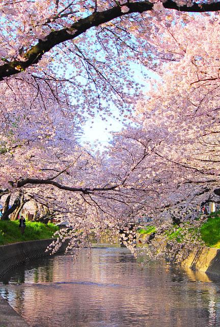 大きいサイズの満開の桜とピンク色に染まる小川