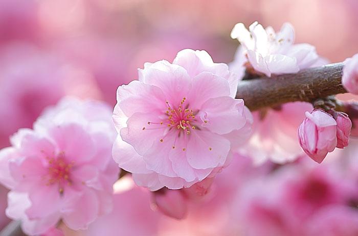 大きいサイズの鮮やかなピンク色の桃の花