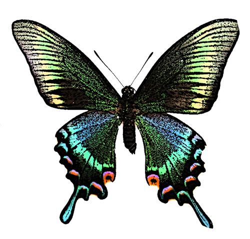 大きいサイズのミヤマカラスアゲハのイラスト蝶・昆虫