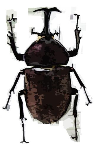 大きいサイズのよく見かけるカブトムシ