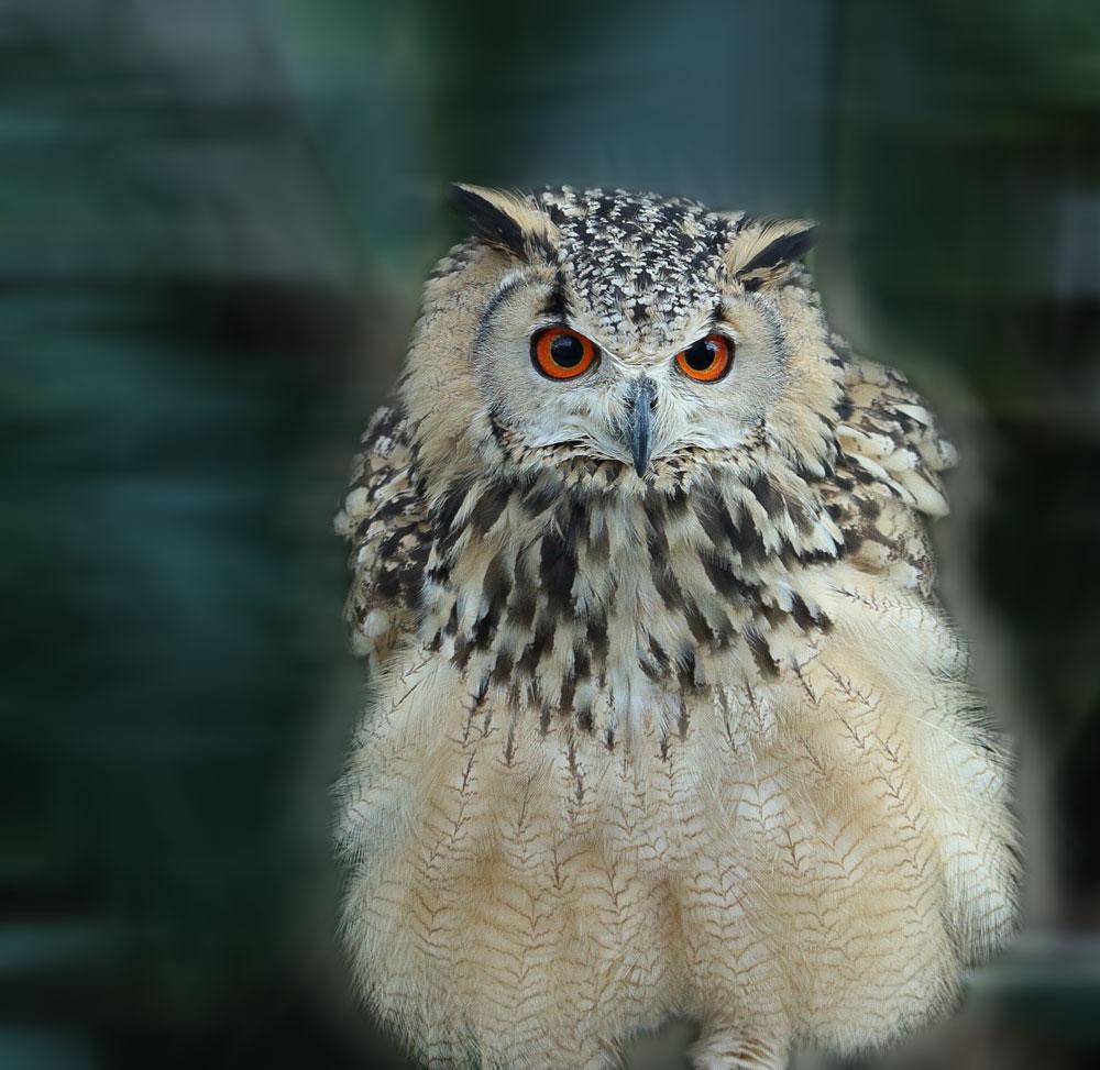 大きいサイズのフクロウの写真