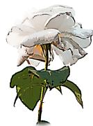 下から見上げた白薔薇