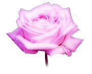 綺麗なローズピンク