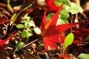 地面に落ちたもみじの葉