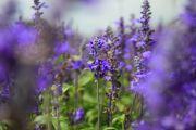紫色のサルビア