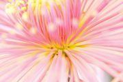 ピンクと黄色の綺麗な菊花