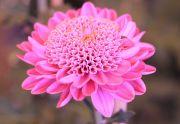 神秘的な紫色の小菊