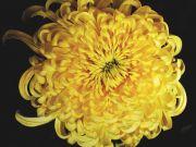 真上から見た大菊