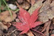 赤色の落ち葉