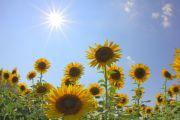 照りつける太陽と向日葵