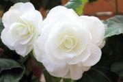 白色のベゴニア