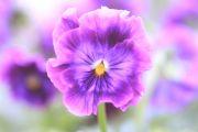 紫色のミルフル