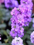 ストック(紫)