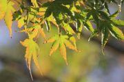 緑から橙色へと変化する紅葉