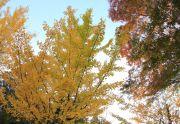 銀杏とモミジの木