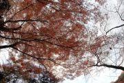 下から見上げた紅葉の木と枝