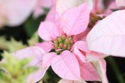 ピンク色のポインセチア