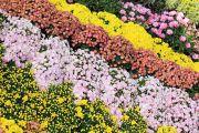 桃色と黄色のお花畑