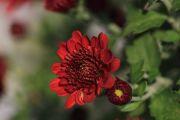 ワインレッドカラーの小菊