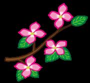 ハナミズキのピンクの花と枝