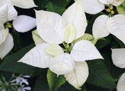 白色のポインセチア