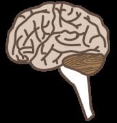 脳を横から見たイラスト