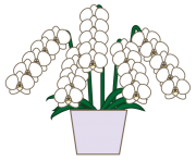 白色の胡蝶蘭のイラスト