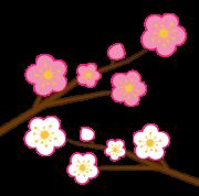 白とピンク色の梅の花
