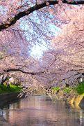 満開の桜とピンク色に染まる小川
