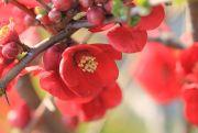 春に咲く赤色の花