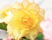バラ咲きのベゴニア