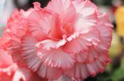 ピンクと白まだら模様のベゴニア