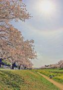 光冠と満開の桜