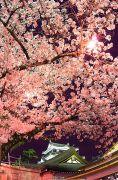 夜桜と岡崎城のライトアップ