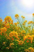 光環と青空と菜の花