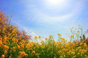 七色の光環と菜の花と桜