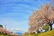 すじ状の雲と桜
