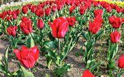 赤色のチューリップ畑