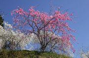 ピンク色の桃の木