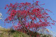 赤色の枝垂れ桃の木